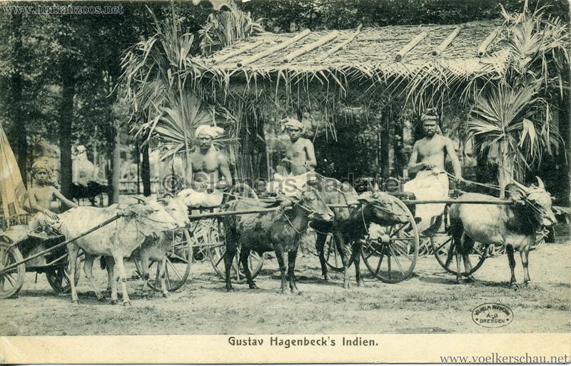 1905:1906 Gustav Hagenbecks Indien - Zebukarren VS