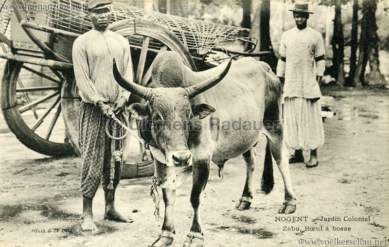 1905 Nogent - Jardin Colonial - Zebu boef a bosse 1