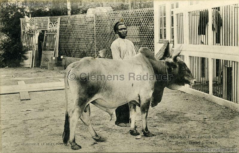 1905 Nogent - Jardin Colonial - Zebu boef a bosse 2