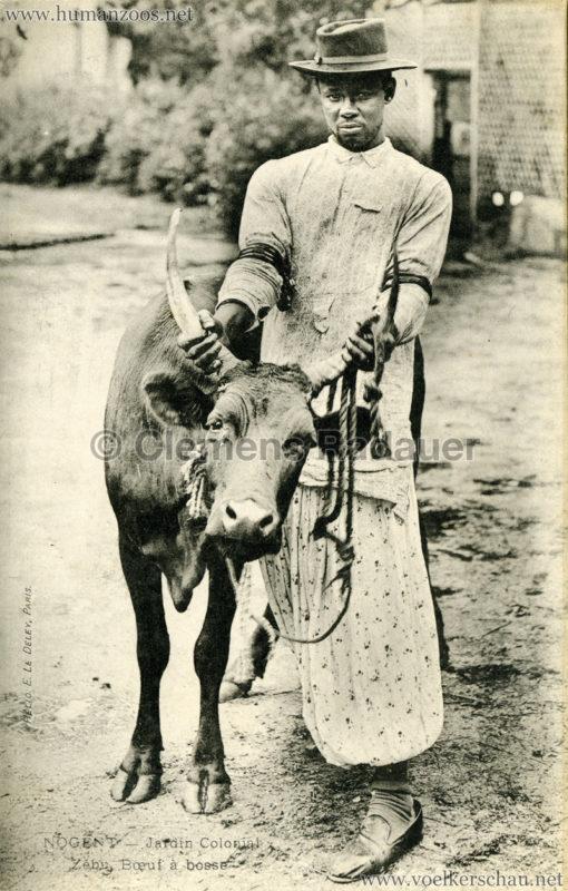1905 Nogent - Jardin Colonial - Zebu boef a bosse 3